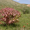 Kz 3143 Euphorbia ferganensis