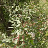 Kz 3986 Euphorbia ferganensis