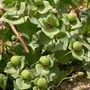 Kz 3988 Euphorbia ferganensis