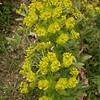Kz 3984 Euphorbia spec
