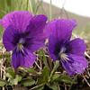 Kz 4258 Viola altaica