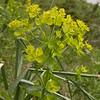Kz 3983 Euphorbia spec