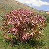 Kz 3145 Euphorbia ferganensis