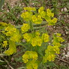 Kz 3985 Euphorbia spec