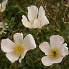 Kz 3951 Rosa maracandica