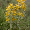 Kz 1648 Phlomoides (Eremostachys) speciosa