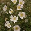 Kz 3950 Rosa maracandica