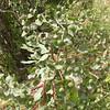 Kz 3987 Euphorbia ferganensis