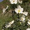 Kz 3774 Rosa fedtschenkoana