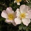 Kz 3953 Rosa maracandica