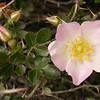 Kz 3954 Rosa maracandica
