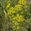 Kz 3074 Euphorbia jaxartica
