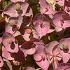 Kz 3146 Euphorbia ferganensis