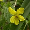 Kz 1640 Viola acutifolia