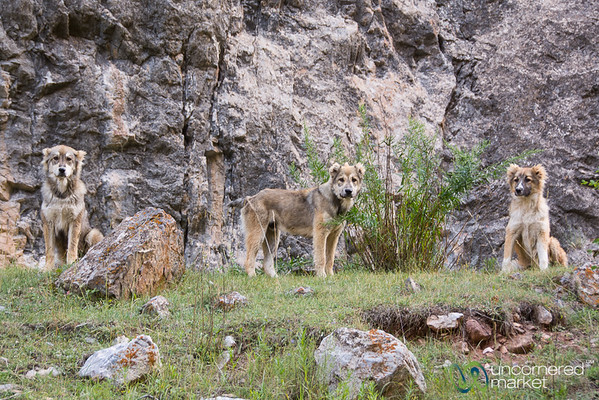 Shepherd Dogs Keeping an Eye on Us - Alay Mountains, Kyrgyzstan