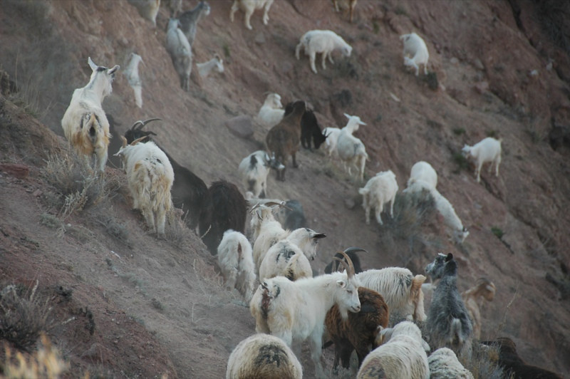 Goats Grazing Near Lake Issyk-Kul - Manzhyly, Kyrgyzstan