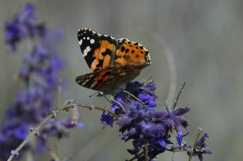 Butterfly on Flower - Manzhyly, Kyrgyzstan
