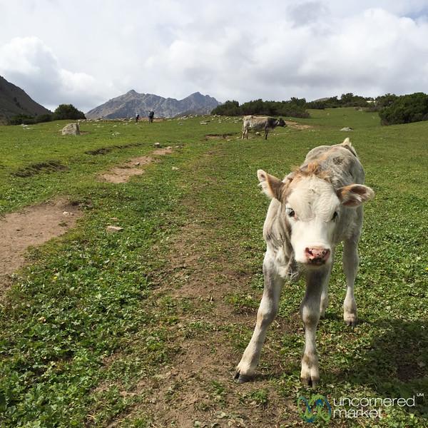 Calf on the Jailoo - Jyrgalan Trek, Kyrgyzstan