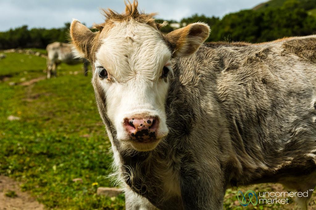 Calf Encounters - Jyrgalan Trek, Kyrgyzstan