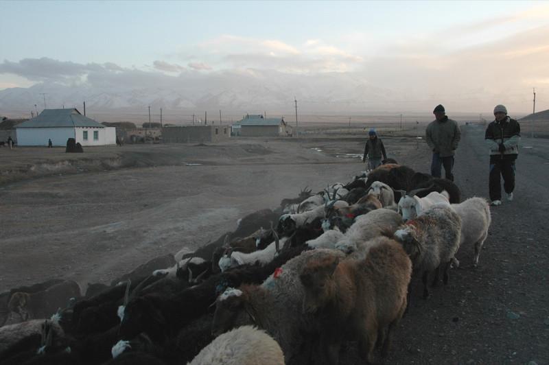 Sheep Herd - Sary Tash, Kyrgyzstan