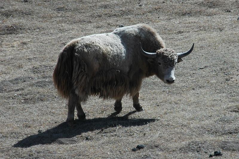 Yak Sighting - Osh to Sary Tash, Kyrgyzstan