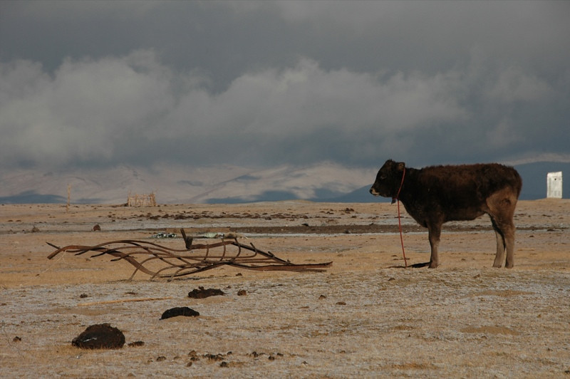 Cow at Song Kul Lake, Kyrgyzstan