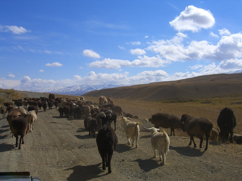Shepherds Bring Animals Down - Song Kul Lake, Kyrgyzstan