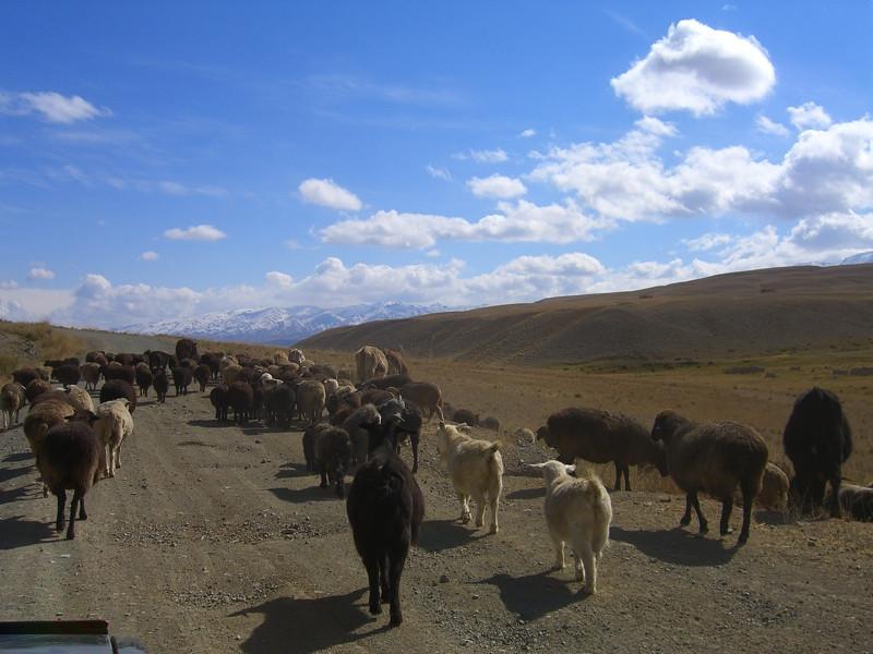 Shepherds Bring Animals Down - Song Kul Lake, Kyrgyzstan