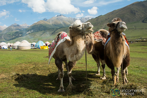 Bactrian Camels at the World Nomad Games - Kyrgyzstan