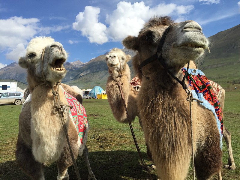 Bactrian Camels at Kyrchyn Jailoo - World Nomad Games, Kyrgyzstan