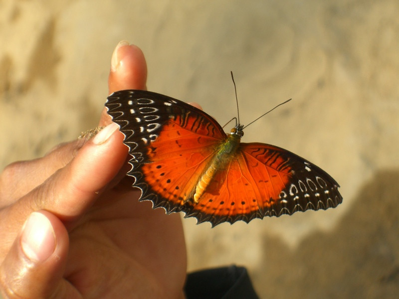 Beautiful Butterfly - Vang Vieng, Laos