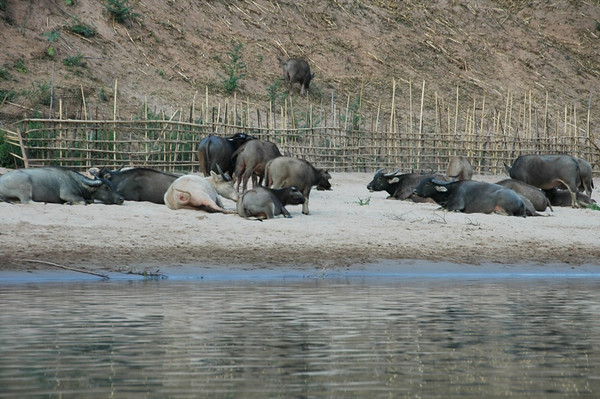 Water Buffaloes at the Riverside - Nong Khiaw, Laos