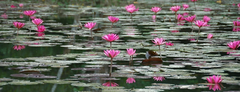 Pink Water Lilies - Nong Khiaw, Laos