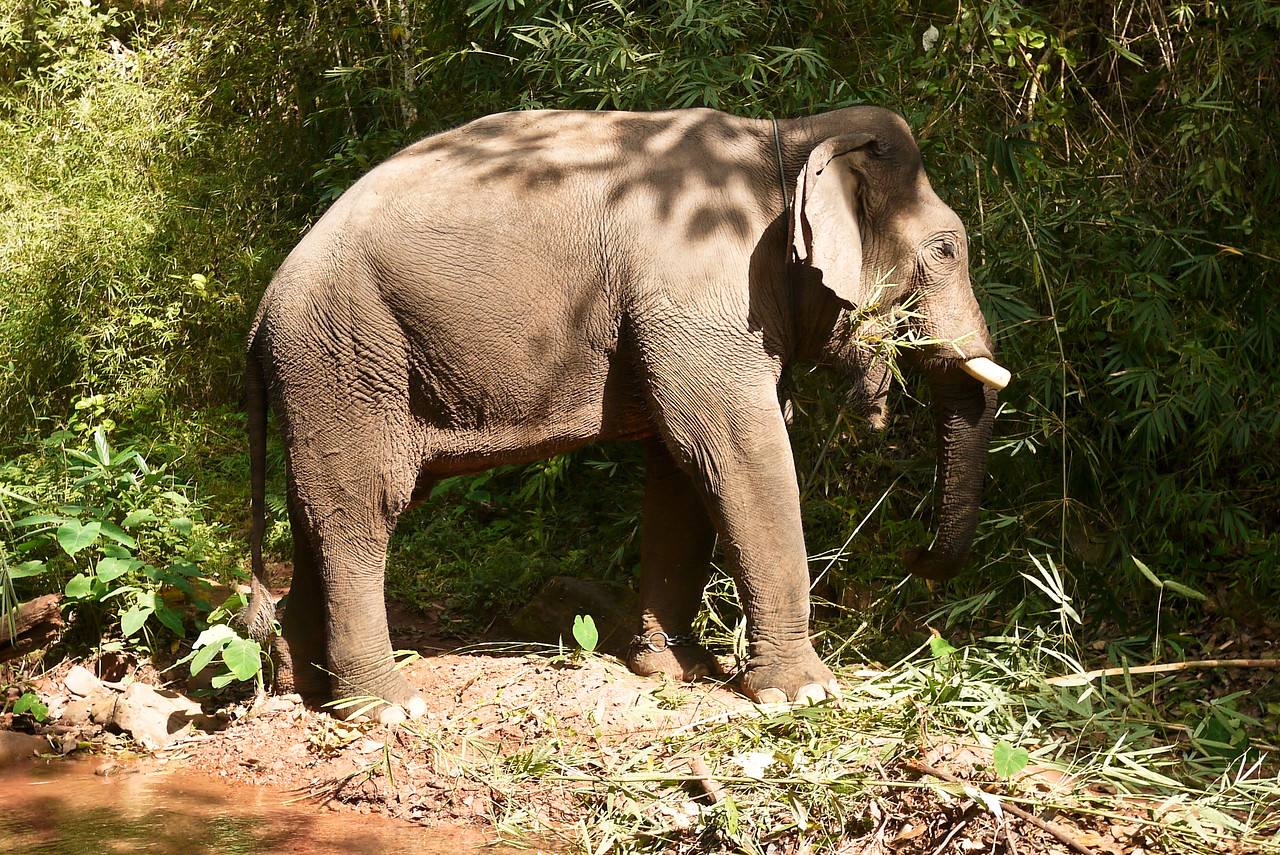 A large bull elephant eating.