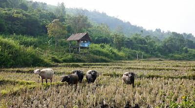 Cows in a field in rural Laos.