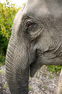 The wise eyes of a mother elephant in Laos.