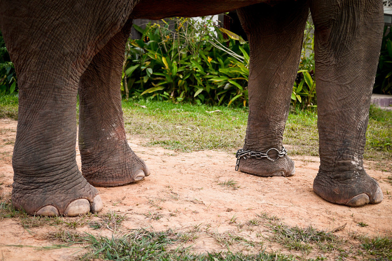 An elephant's feet, including the chain anklet that is left on so they can easily be fastened in place.