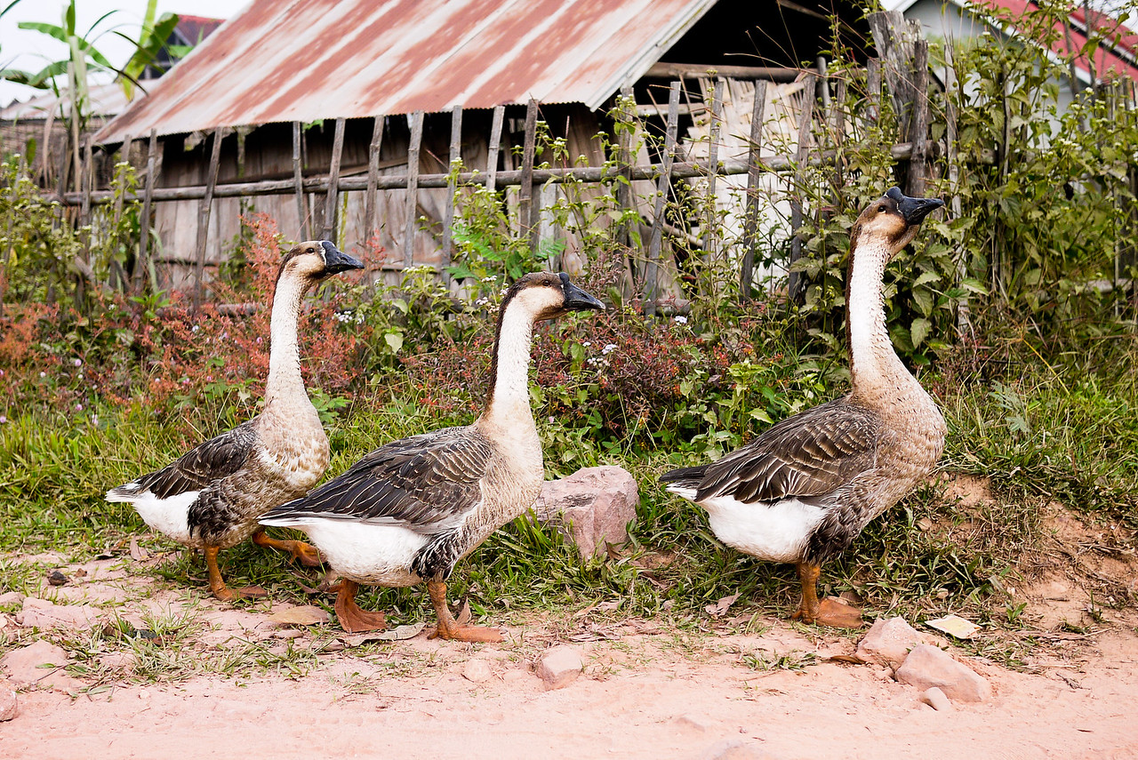 A gaggle of geese squawked by as we trekked in Hongsa, Laos.