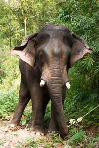 A large bull elephant in Laos.