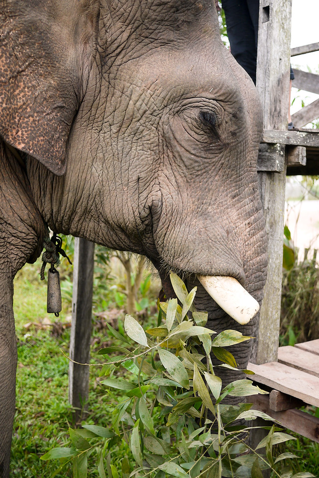 A huge bull elephant munching on trees at the Jumbo Guesthouse in Hongsa, Laos.