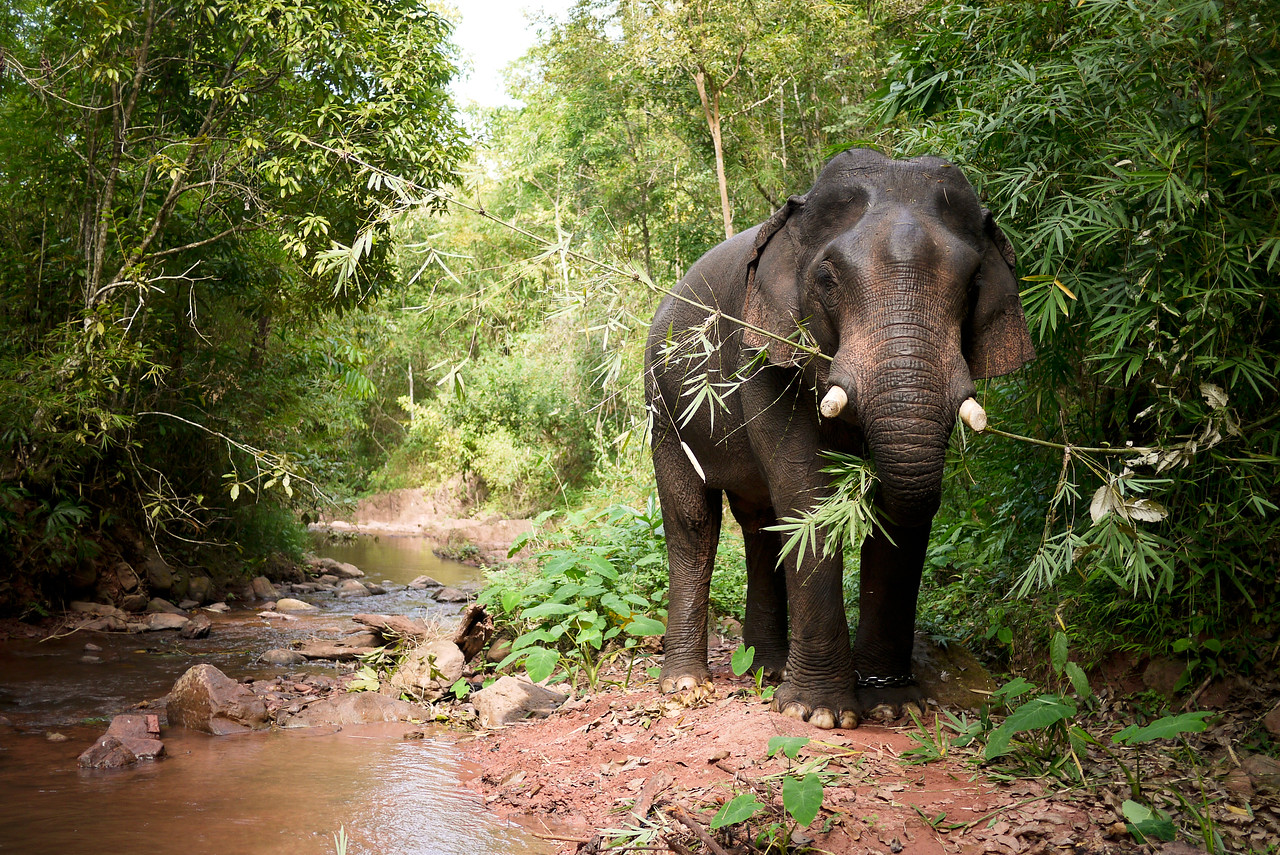 The elephant snacks on bamboo in Laos.