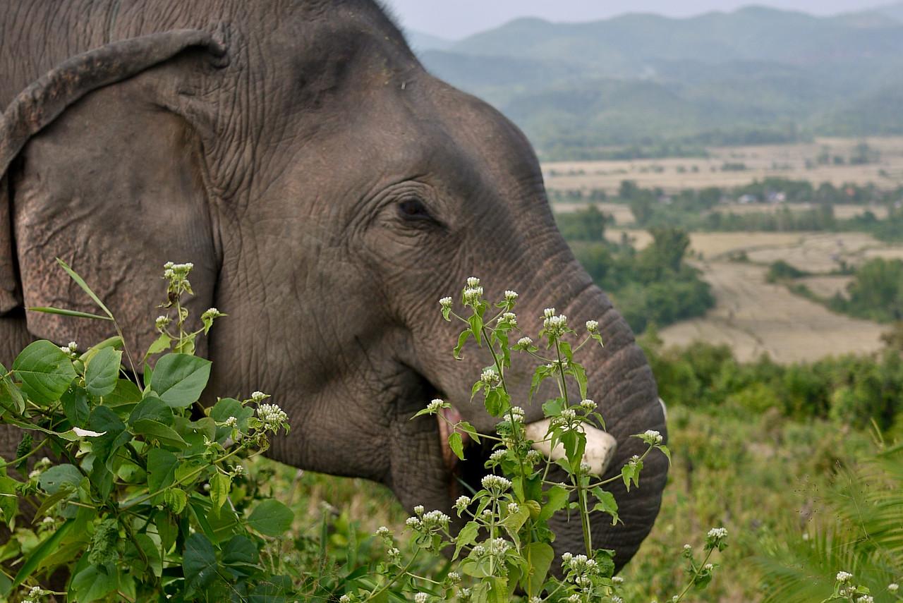 An elephant munches on trees and bushes outside of Hongsa, Laos.