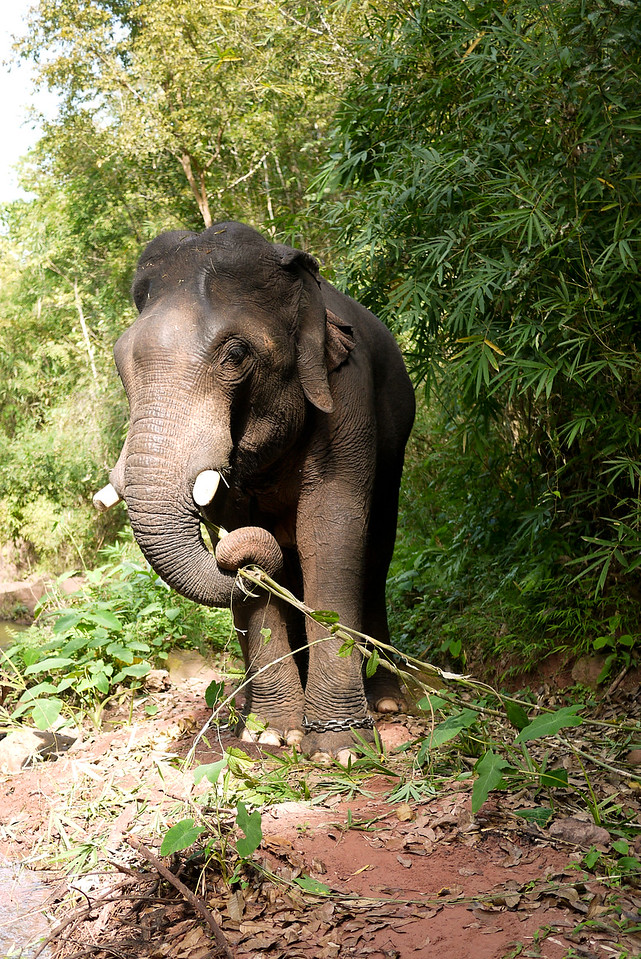His strong trunk was able to rip down small trees as his lunch snack in Laos.