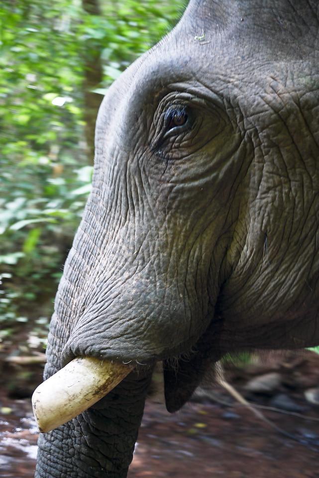 The soulful eye of a bull elephant in Laos.