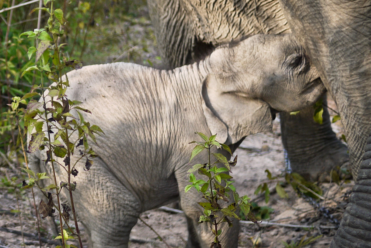 A baby elephant suckling at her mother in rural Laos.