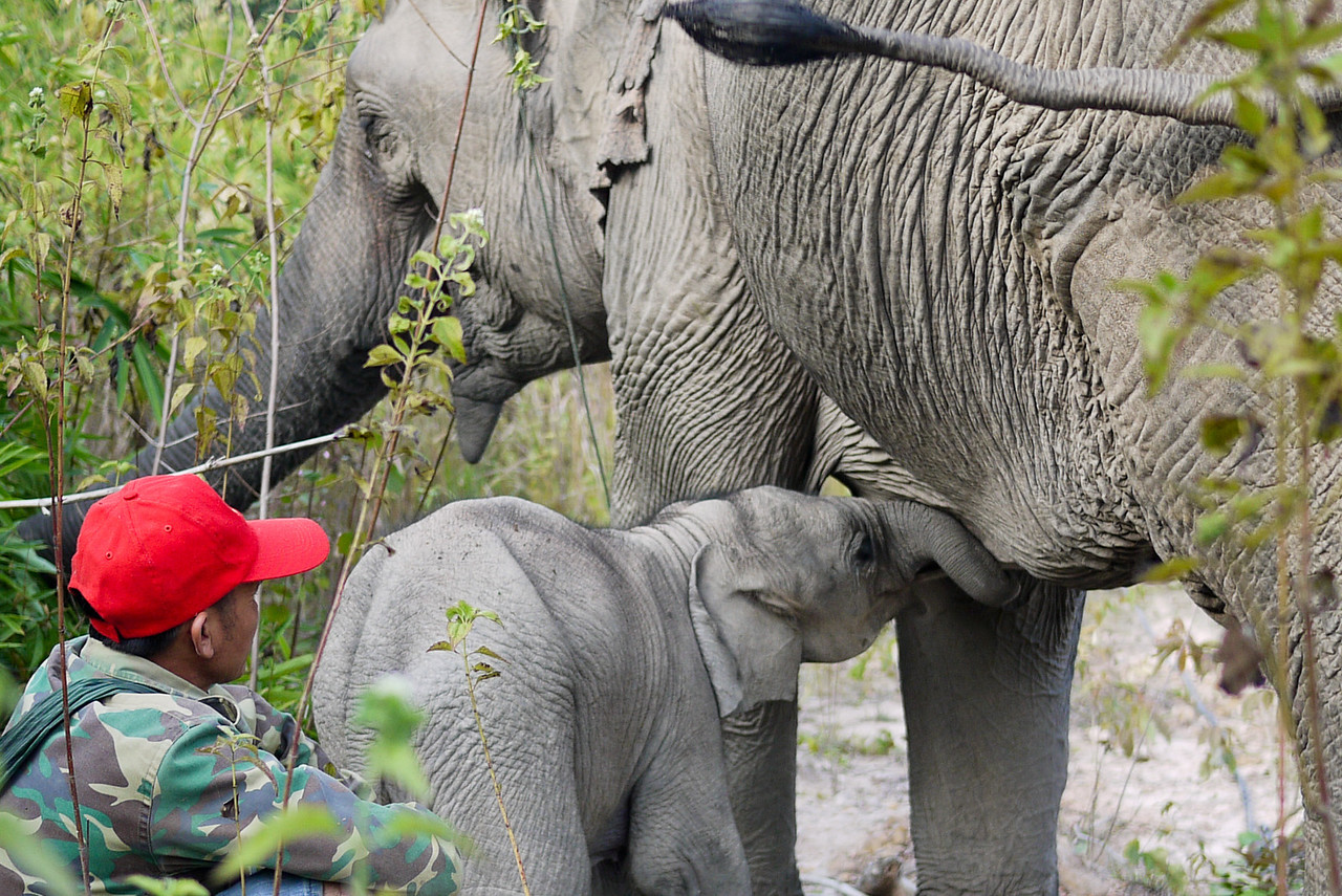 A two month old baby elephant sucking at his mother.