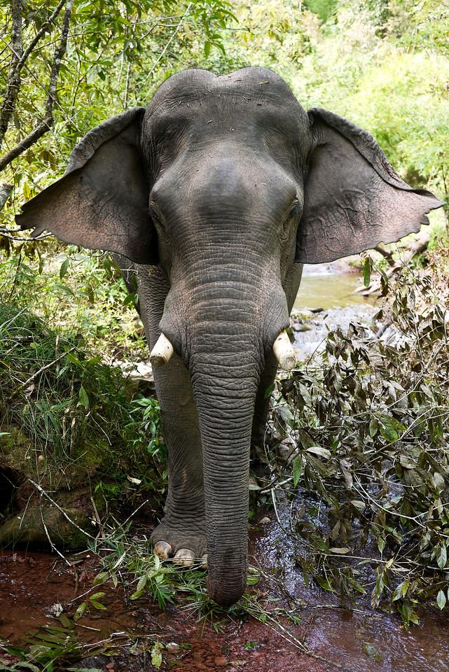 An huge Asian elephant in Laos.