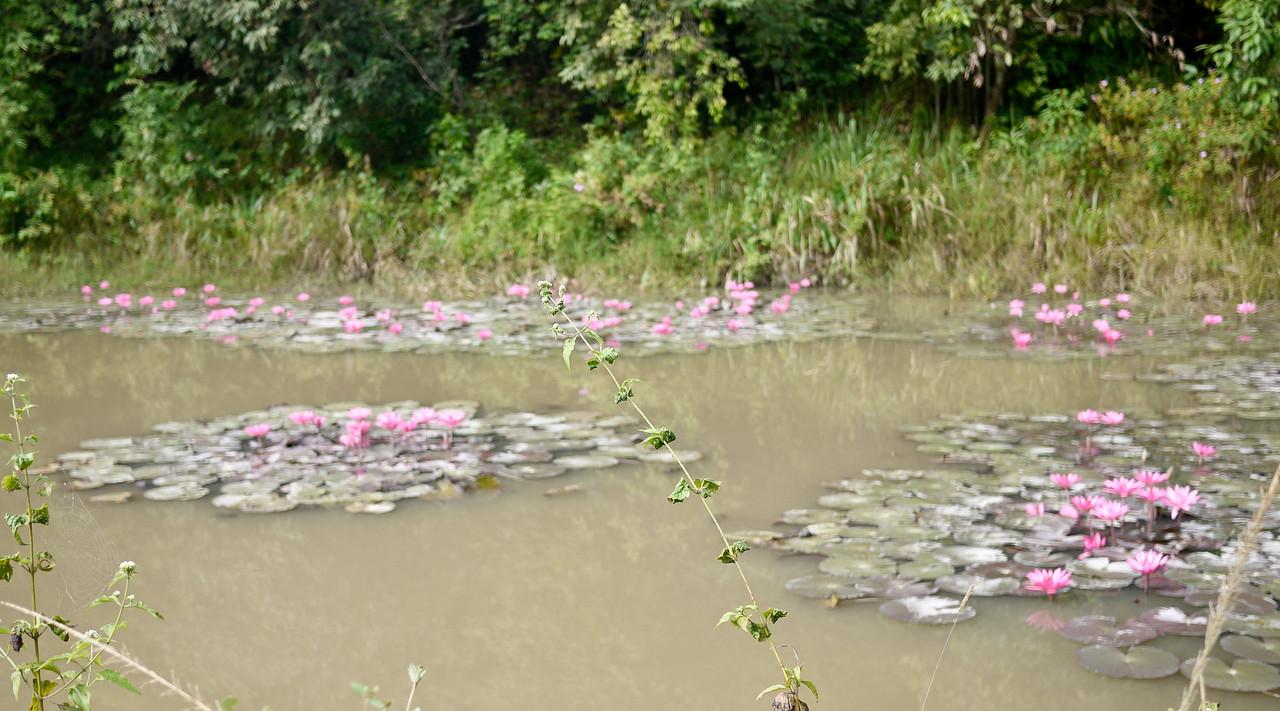 A pretty lily pond in Laos.