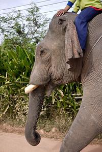 Bull elephant in Hongsa, Laos.