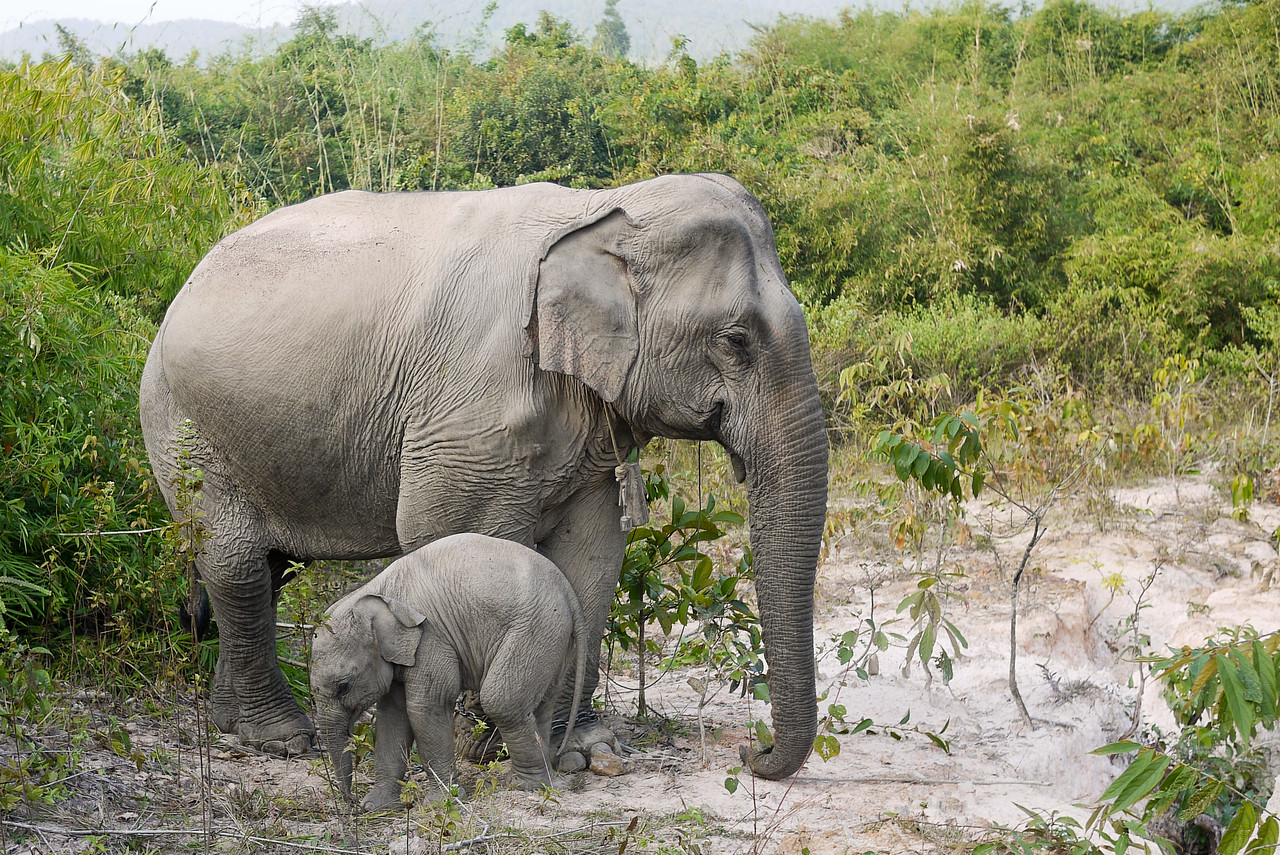 A baby elephant trots around as his mom looks watches us.